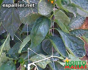 crops using trellis net